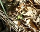 Naturaufnahmen-2011-Smaragdeidechse